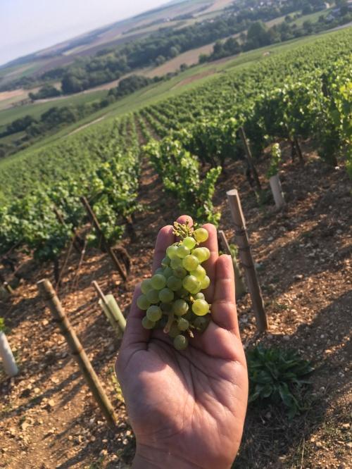 extra-vineyard-grapes